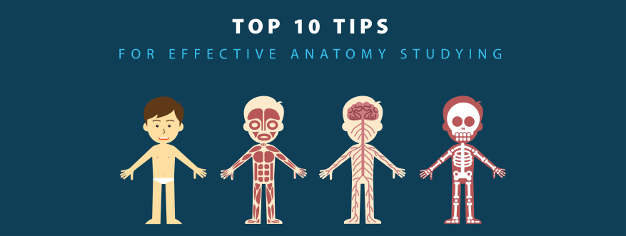 how to study anatomy effectively